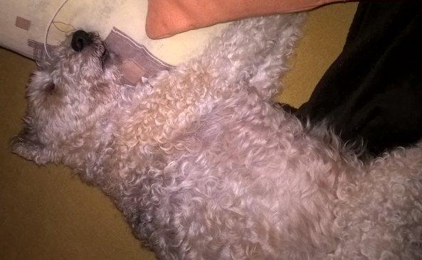 Balbinka uwielbiała spać na kanapie :) Od maleńkości ;)
